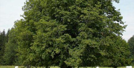 Термомодифицированный граб приобретает роскошную выраженную текстуру и более темный оттенок, что повышает его ценность для дизайнерских проектов. Термограб отлично подходит для отделочных работ внутри дома и снаружи – для облицовки, напольного покрытия, декоративного оформления. Граб кавказский и обыкновенный – самые востребованные породы дерева этого семейства.