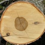 береза черная , плотность древесины и твердость