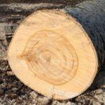 клен , плотность древесины и твердость